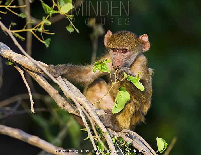 Chacma Baboon (Papio ursinus) juvenile eating leaves in tree, Chobe National Park, Botswana  -  Tony Heald/ npl