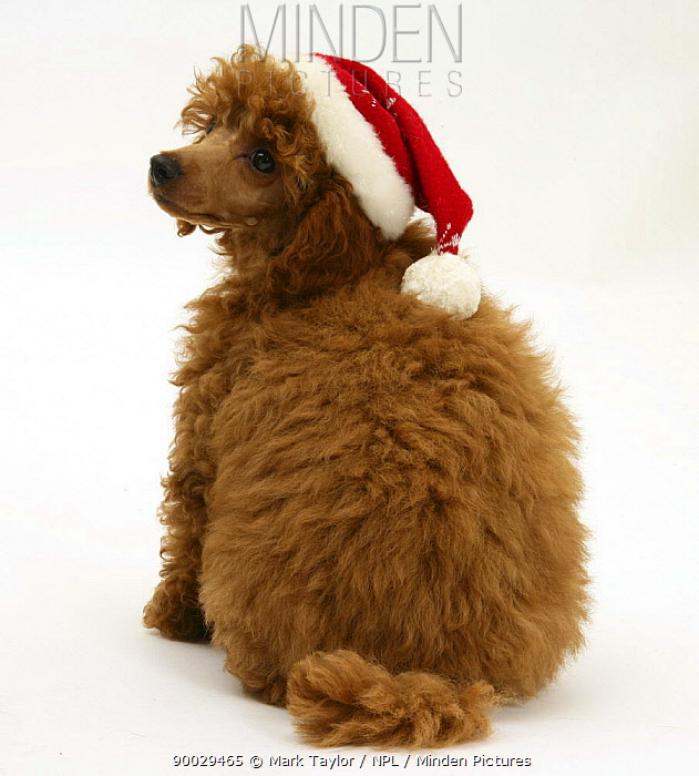 Red Toy Poodle puppy, Reggie, 12 weeks old, wearing a Father Christmas hat  -  Mark Taylor/ npl