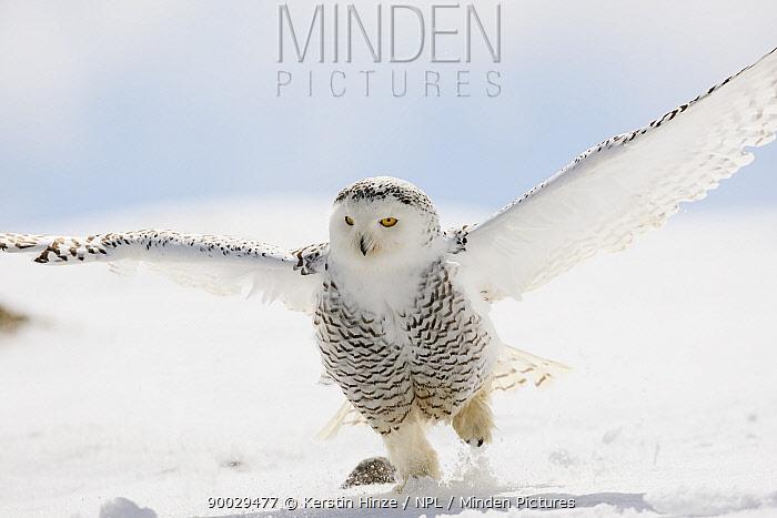 Snowy Owl (Nyctea scandiaca) adult female taking off from snow, winter, Europe  -  Kerstin Hinze/ npl