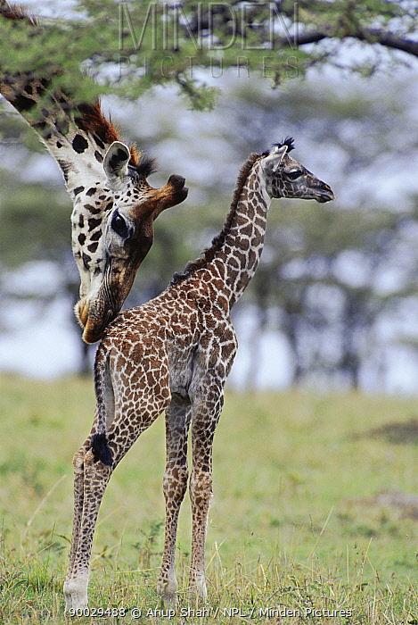 Giraffe (Giraffa camelopardalis) nuzzling baby Masai Mara, Kenya  -  Anup Shah/ npl