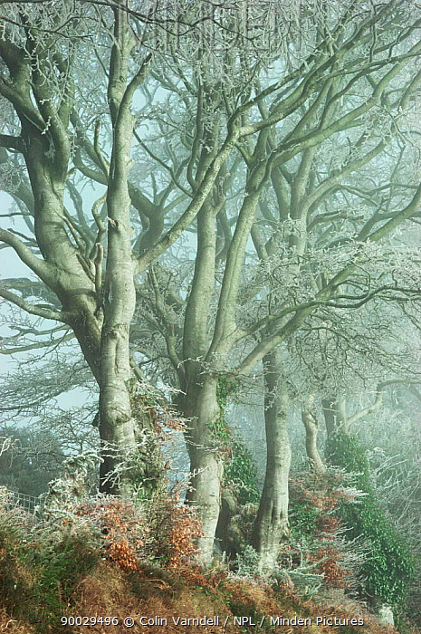 European Beech (Fagus sylvatica) with frost United Kingdom  -  Colin Varndell/ npl