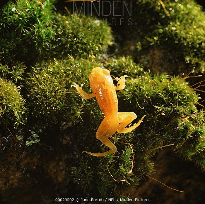 Common Frog (Rana temporaria) golden-yellow morph froglet emerging from pond  -  Jane Burton/ npl