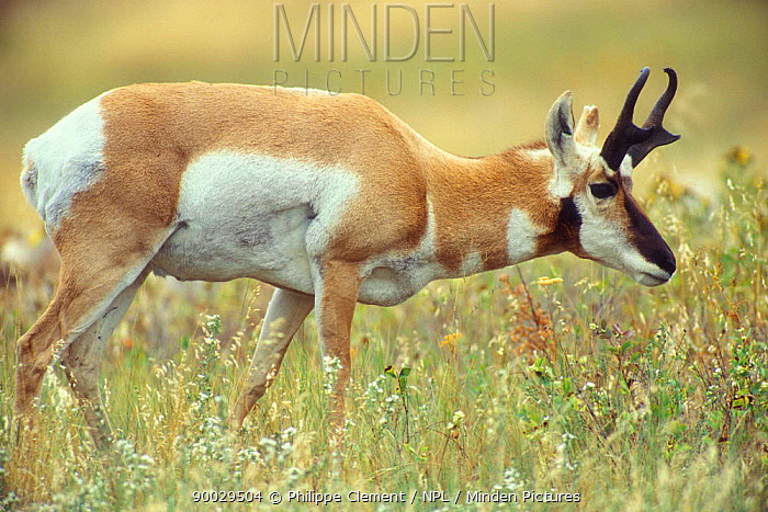 Pronghorn Antelope (Antilocapra americana) male Yellowstone National Park, Wyoming  -  Philippe Clement/ npl