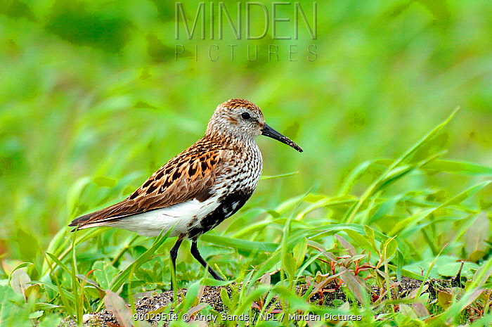 Dunlin (Calidris alpinus, alpina) male with breeding plumage among machair grassland, North Uist, Outer Hebrides, Scotland  -  Andy Sands/ npl