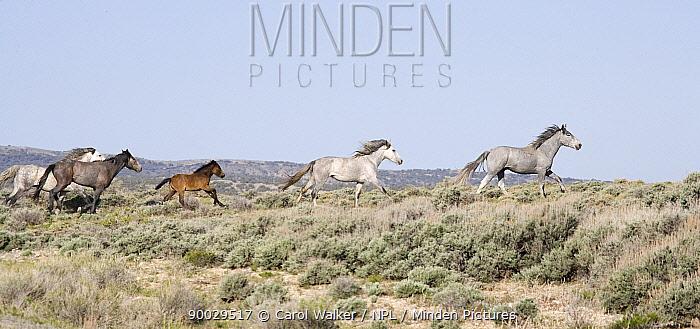 Herd of Wild horses (Equus caballus) cantering profile, Adobe Town, Wyoming, USA  -  Carol Walker/ npl