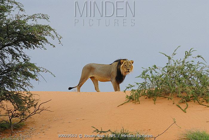 African Lion (Panthera leo) male with black mane in dunes, Kgalagadi Transfrontier Park, Kalahari desert, South Africa  -  Jouan & Rius/ npl