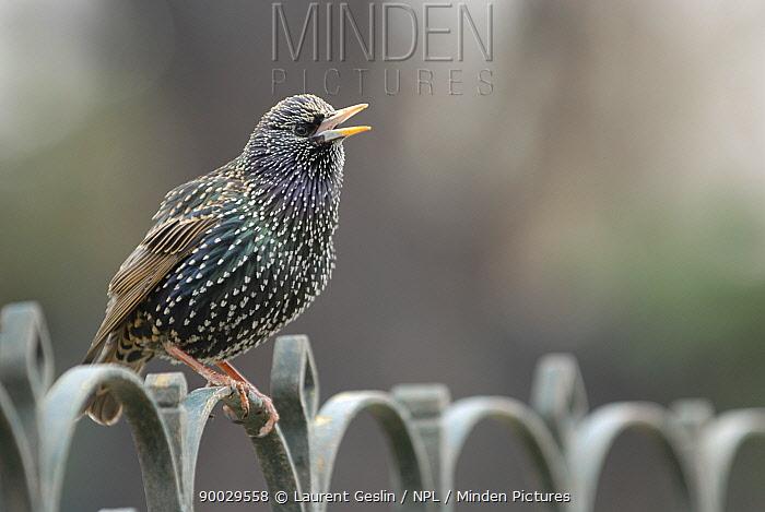 Common Starling (Sturnus vulgaris) singing on railing, Paris, France  -  Laurent Geslin/ npl