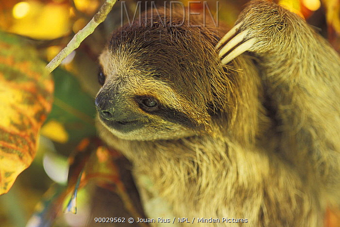 Pale-throated Three-toed Sloth (Bradypus tridactylus) scratching its head, rainforest habitat, Costa Rica  -  Jouan & Rius/ npl