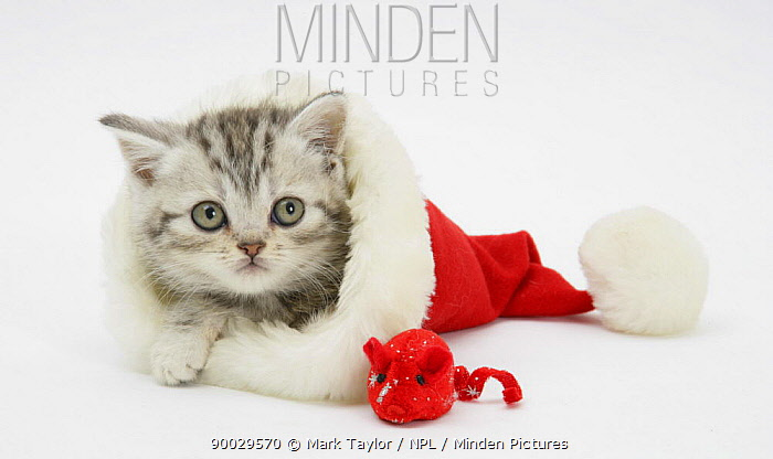 Domestic Cat (Felis catus)Tabby kitten in a Father Christmas hat with a christmas decoration mouse  -  Mark Taylor/ npl