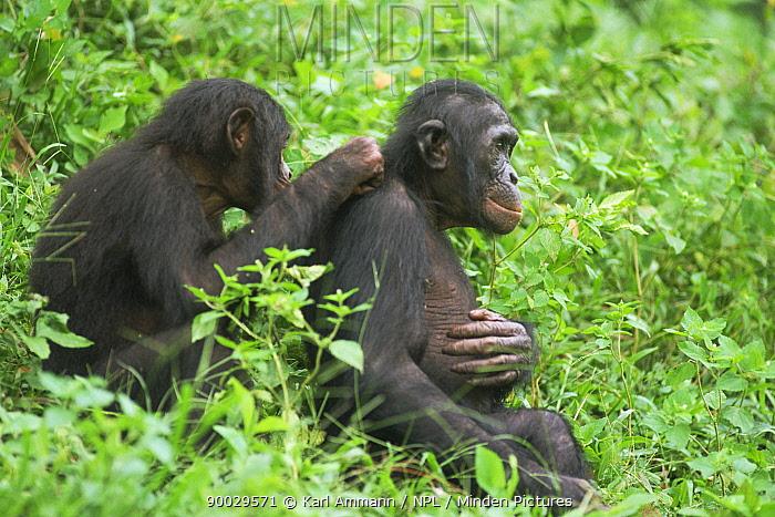Bonobo (Pan paniscus) juveniles grooming Lola Ya Bonobo Sanctuary, Kinshasa, Democratic Republic of Congo  -  Karl Ammann/ npl