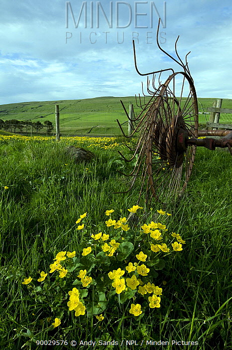 Marsh Marigold (Caltha palustris) with old farming equipment, Holwick Fell, Upper Teesdale, Co Durham, England United Kingdom  -  Andy Sands/ npl