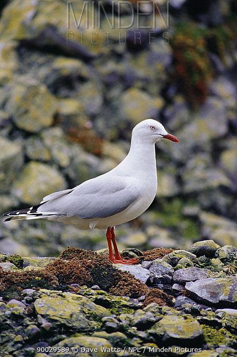 Silver Gull (Larus novaehollandiae) profile on stoney beach, Australasia  -  Dave Watts/ npl