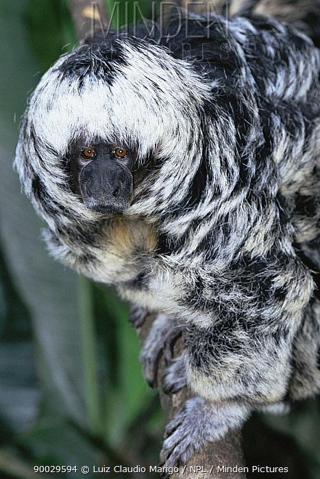 Monk saki monkey (Pithecia irrorata) upland rainforest, Amazonas, Brazil  -  Luiz Claudio Marigo/ npl