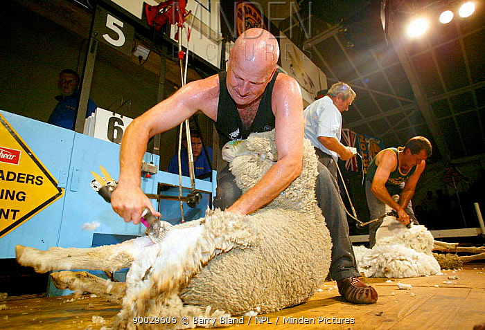 Competitor at the Golden Shears International Open Sheep Shearing Championships, Masterton, New Zealand, 2004  -  Barry Bland/ npl