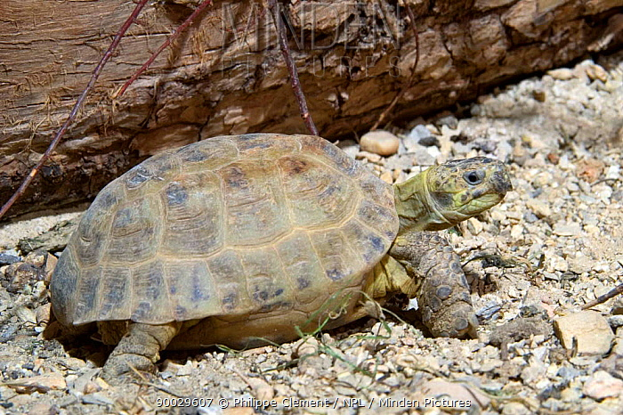 Russian tortoise (Agrionemys, Testudo horsfieldii) captive  -  Philippe Clement/ npl