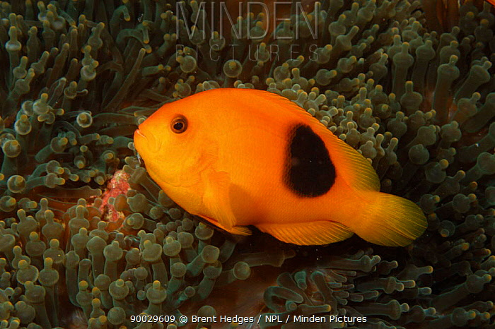 Red Saddleback Anemonefish (Amphiprion ephippium) Andaman Sea, Indo-pacific  -  Brent Hedges/ npl