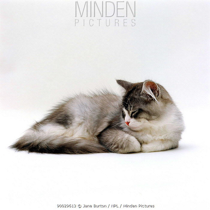 Domestic Cat (Felis catus) 5-month Silver Bicolour Chinchilla-cross kitten, sleeping  -  Jane Burton/ npl