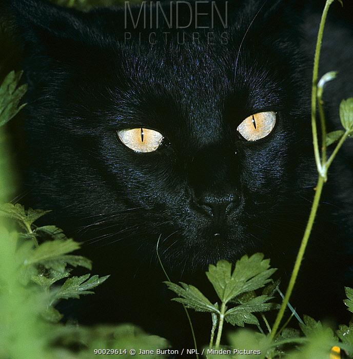 Domestic Cat (Felis catus) with pupils closed in bright light  -  Jane Burton/ npl
