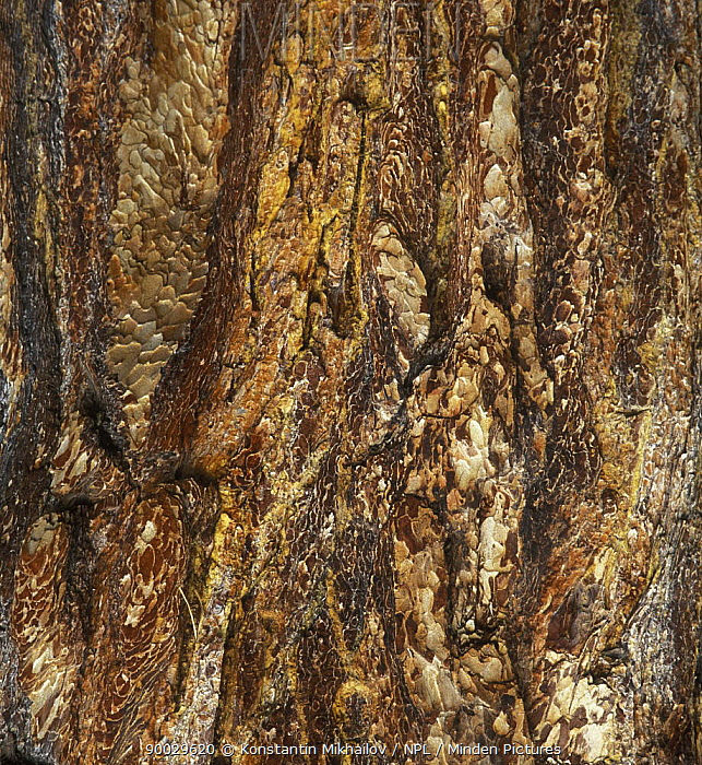 Korean Pines (Pinus koraiensis) bark with resin channels, Siberia, Russia  -  Konstantin Mikhailov/ npl