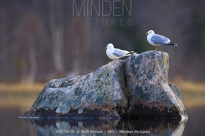 Mew Gull (Larus canus) pair perched on rock in a lake,, Tr�nelag, Norway  -  Niall Benvie/ npl