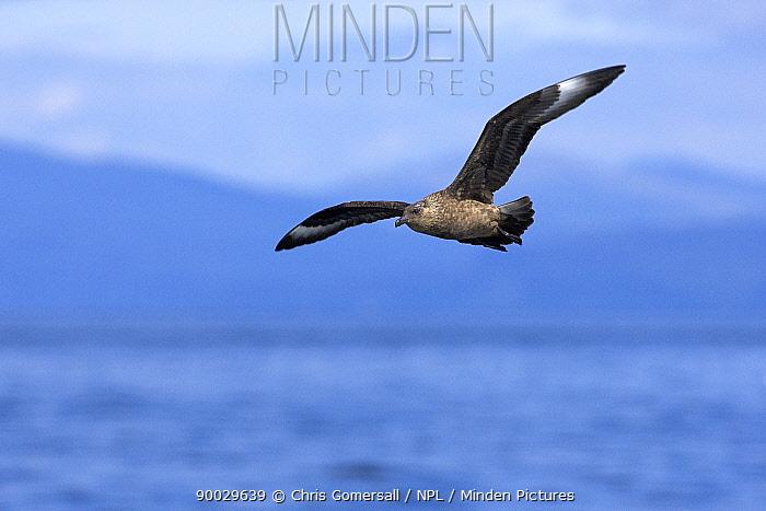 Great Skua (Catharacta skua) adult in flight Inner Hebrides, Scotland  -  Chris Gomersall/ npl