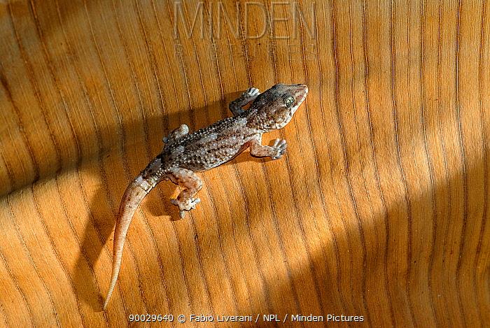 Moorish Wall Gecko (Tarentola mauritanica) Gran Canaria, Canary Isles, Spain  -  Fabio Liverani/ npl