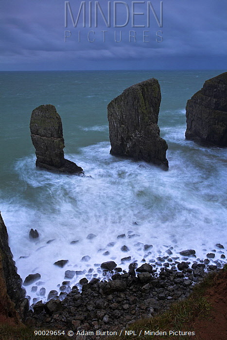 Rock stacks guard the entrance to a secluded Pembrokeshire cove, Wales  -  Adam Burton/ npl