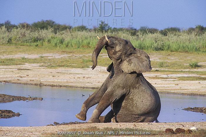 African Elephant (Loxodonta africana) playing by water, Etosha National Park, Namibia  -  Jouan & Rius/ npl