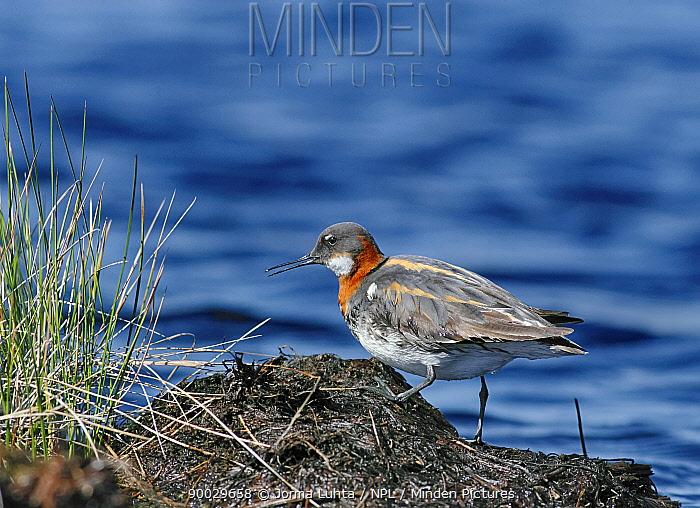 Red-necked Phalarope (Phalaropus lobatus) beside water, Finland  -  Jorma Luhta/ npl