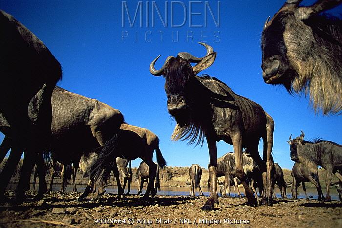 Blue Wildebeest (Connochaetes taurinus) herd at waterhole on migration, Masai Mara GR, Kenya  -  Anup Shah/ npl