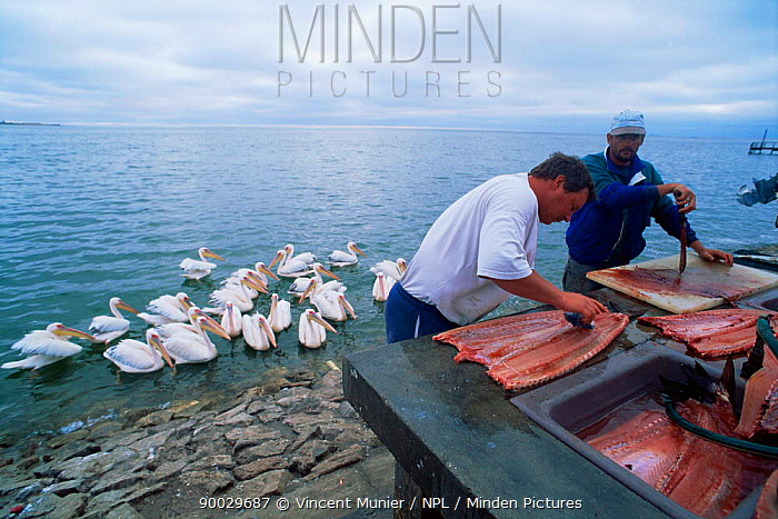 Fishermen filleting fish with Eastern white pelicans waiting for scraps, Walvis Bay, Namibia  -  Vincent Munier/ npl