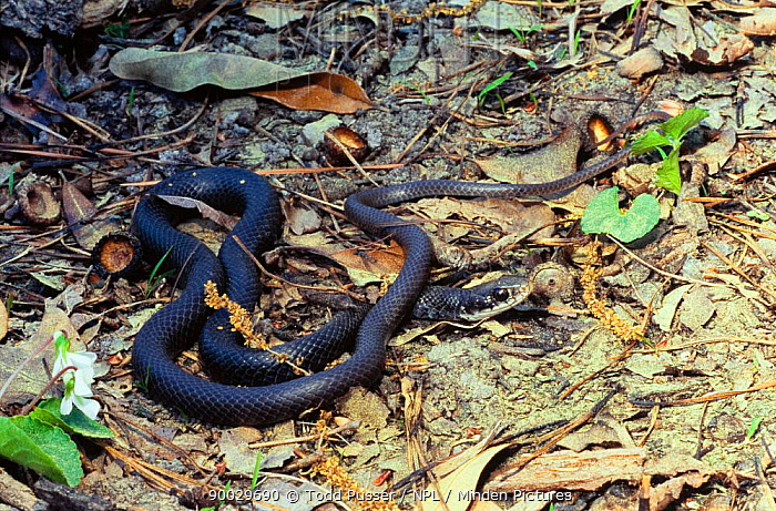 Southern Black Racer (Coluber constrictor priapus) North Carolina  -  Todd Pusser/ npl