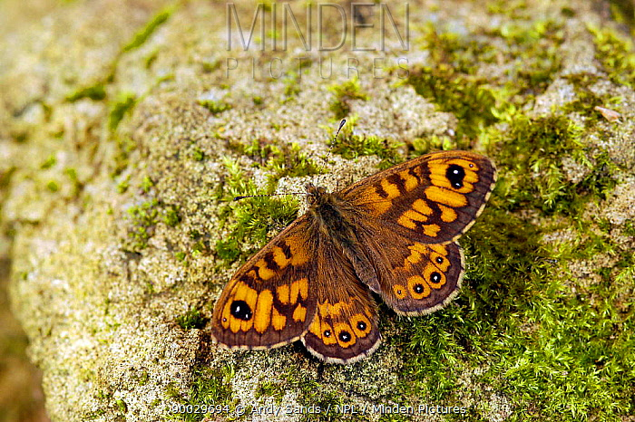 Wall Brown (Lasiommata megera) Basking on rock with wings open, Captive, United Kingdom  -  Andy Sands/ npl