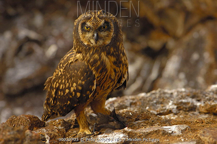 Short-eared Owl (Asio flammeus) with Storm petrel prey Tower, Genovesa Is, Galapagos, Ecuador  -  Pete Oxford/ npl