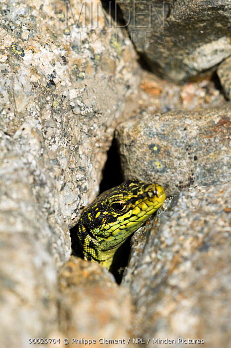 Iberian mountain, rock lizard (Iberolacerta, Lacerta monticola) head poking out of hole, Sierra de Gredos, Spain  -  Philippe Clement/ npl