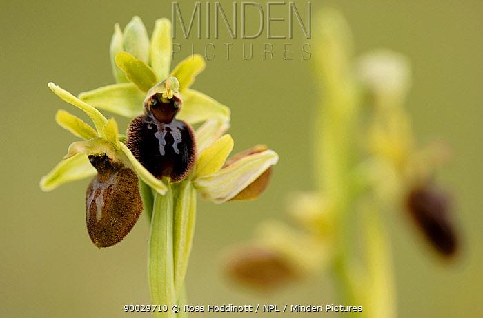 Early Spider Orchid (Ophrys sphegodes), Durlston, Dorset United Kingdom  -  Ross Hoddinott/ npl