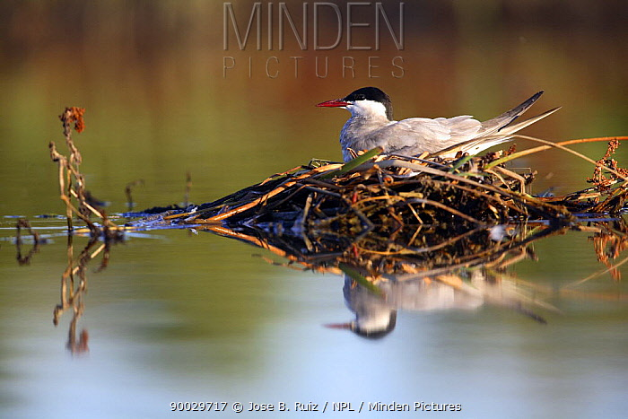 Whiskered tern (Chlidonias hybrida) sitting on nest, Donana NP, Sevilla, Spain  -  Jose B. Ruiz/ npl
