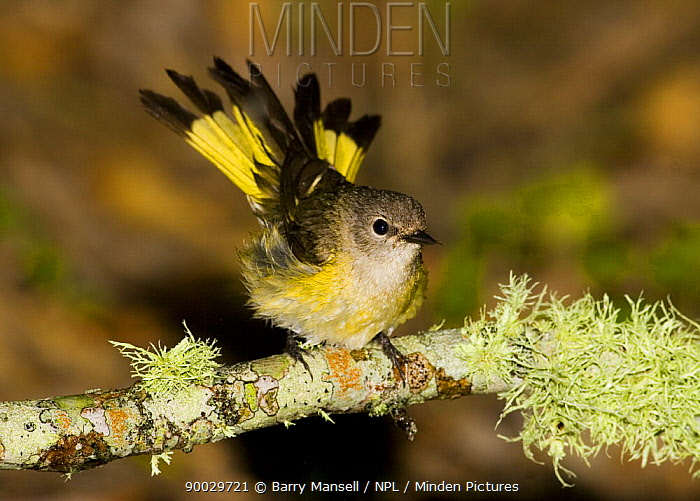 American Redstart (Setophaga ruticilla) on lichen-covered branch Texas  -  Barry Mansell/ npl