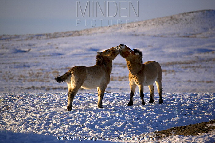 Two Przewalski's Horses (Equus ferus przewalski) interacting Kalamaili National Park, Xinjiang Province, North-west China The horses have been re-released after a captive breeding programme, but spend their winter in an enclosure February 2007, BBC Wild China series  -  George Chan/ npl