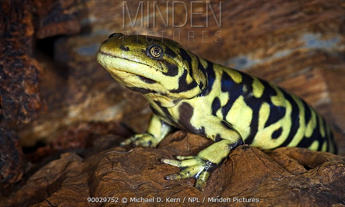Eastern Tiger Salamander (Ambystoma tigrinum) captive, from USA  -  Michael D. Kern/ npl