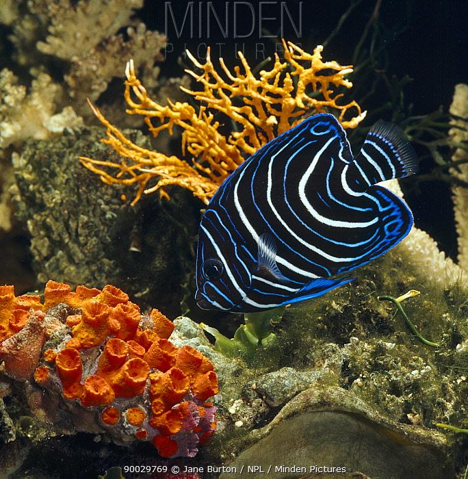 Semicircle Angelfish (Pomacanthus semicirculatus) captive, from Indo-Pacific  -  Jane Burton/ npl