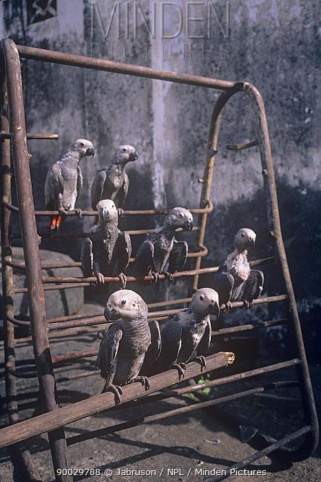 African Grey Parrot (Psittacus erithacus) nestlings for sale in market, Goma Town, Zaire  -  Jabruson/ npl