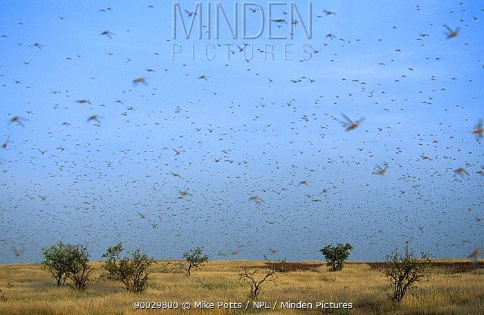 Desert Locust (Schistocerca gregaria) flying SW Mauritania, N Africa  -  Mike Potts/ npl