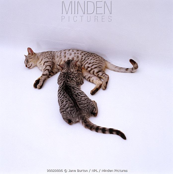 Domestic Cat (Felis catus) Silver Egyptian Mau female 'Holly' suckling 14-week kitten  -  Jane Burton/ npl