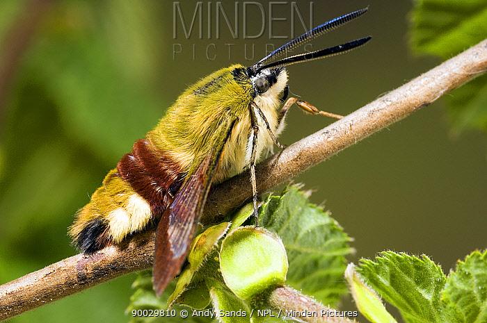 Broad-bordered Bee Hawk Moth (Hemaris fuciformis) captive, United Kingdom  -  Andy Sands/ npl