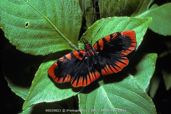 Blood-red skipper butterfly (Haemactis sanguinalis) in rainforest, Peru  -  Premaphotos/ npl