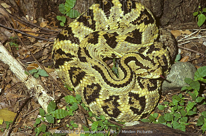 Aruba Rattlesnake (Crotalus durissus) at night in tropical dry forest, Costa Rica  -  Premaphotos/ npl