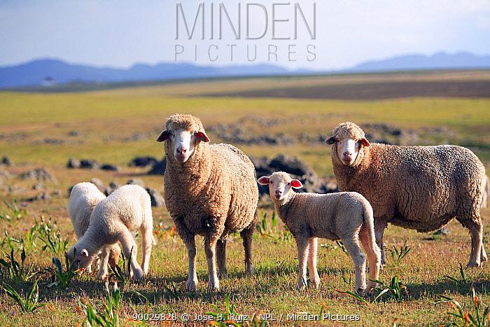Domestic Sheep (Ovis aries) Badajoz, Extremadura, Spain  -  Jose B. Ruiz/ npl