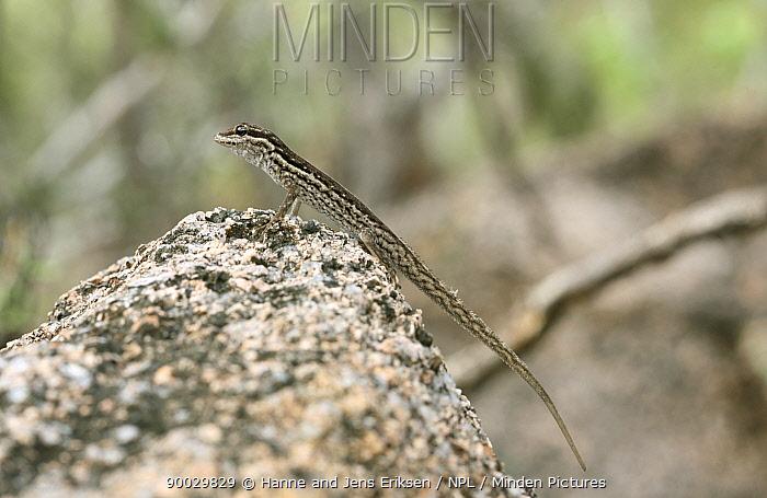 Socotra rock gecko (Pristurus socotranus), Wadi Ayhaft, Socotra Island, Yemen  -  Hanne & Jens Eriksen/ npl