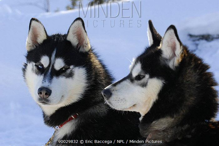 Siberian husky sled dogs (Canis familiaris) pair in snow, Northwest Territories, Canada March 2007  -  Eric Baccega/ npl